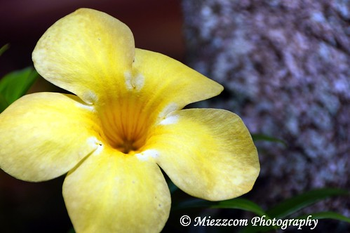Yellow Flower or Allamanda cathartica by Miezzcom