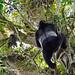 Silverback Gorilla, Bwindi (Ian and Kate Bruce)