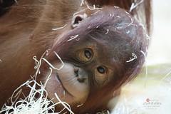 Drill Baby und Sumatra Orang Utans