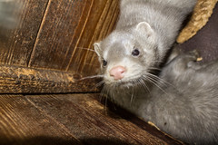 otter(0.0), animal(1.0), weasel(1.0), mustelidae(1.0), mammal(1.0), fauna(1.0), polecat(1.0), whiskers(1.0), mink(1.0), ferret(1.0),