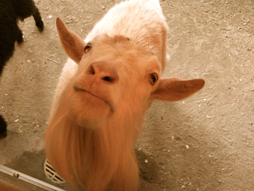 Handsome Goat