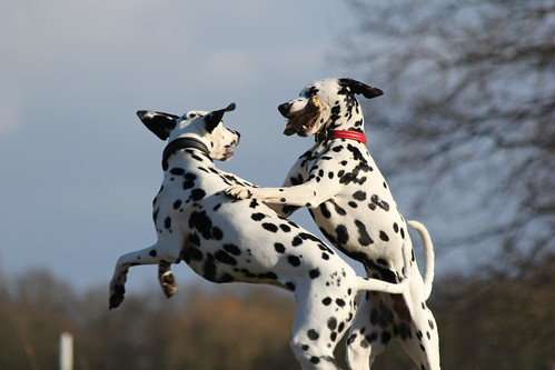 Dalmatians playing
