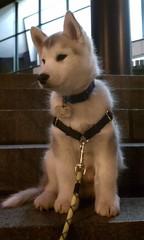 [Scrapbook] Link the Siberian Husky - Page 3 8532208539_b00b241a66_m