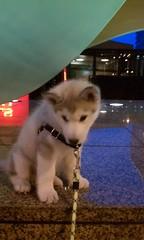 [Scrapbook] Link the Siberian Husky - Page 3 8533318124_26d55c8a6c_m