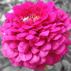 flower, plant, pink, petal,