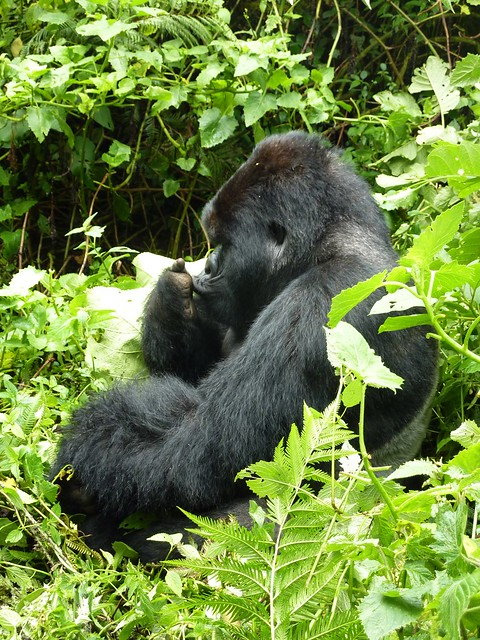 Mountain gorilla - Kwitonda group, silverback number 3 (III)