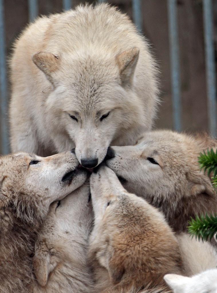 hudsonbay wolf artis IMG_0194