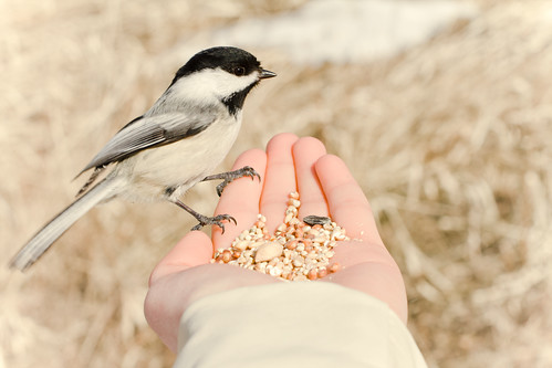 chickadee ready for a snack