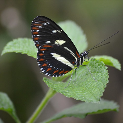 Heliconius atthis sitting on Porterweed leaf by jungle mama