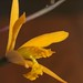Small photo of Laelia alvaroana