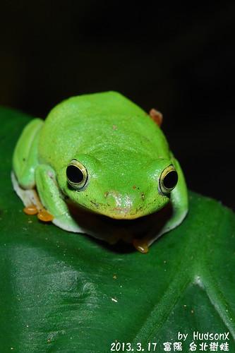 台北樹蛙(17)