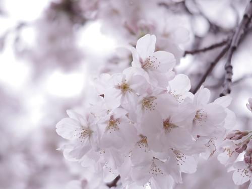 Sakura bloom in Tokyo 06