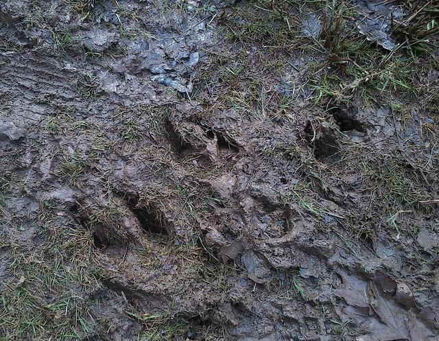 DSC_0176 wild boar prints
