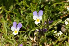 Viola tricolor 2