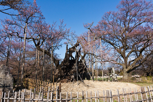 Ω2: The Ancient Sakura of Yamataka