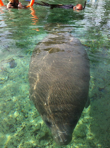Swimming with a manatee