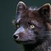 Arctic Fox Portrait Three Quarter by bubbazinettisr20ve