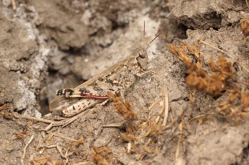 Platypygius platypygius (Acrididae: Oedipodinae) hembra