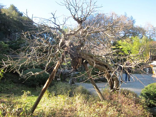 Hakone Japanese Gardens, Saratoga, CA, tree IMG_2276