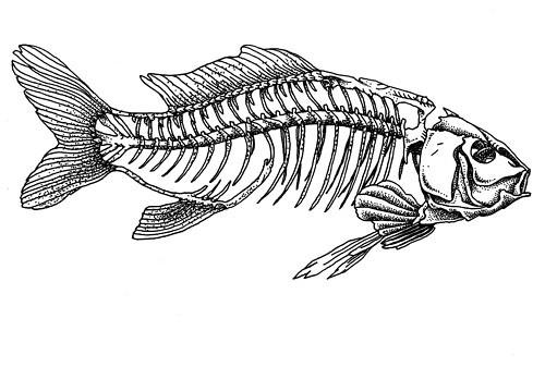 Encremecanique alex iumsa poisson squelette dessin - Dessin de squelette ...