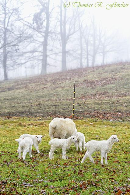 Winter Lambs