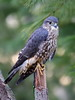 Merlin Prairie Falcon #1 by PhotoDocGVSU
