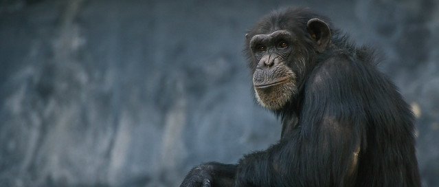 profile of a lone chimpanzee