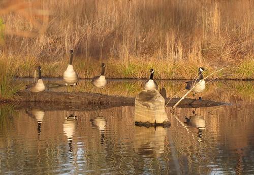 creek geese northcarolina marsh canadagoose wetland cumberlandcounty hopemills hopemillslake littlerockfishcreek