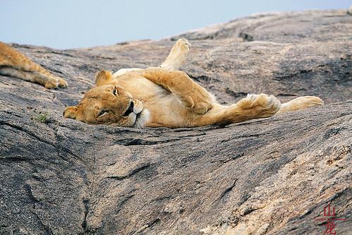 tanzania lion safari pantheraleo tropicaltrails