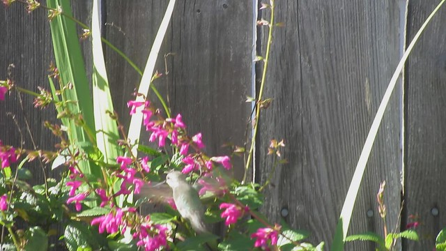 MVI_6467 hummingbird on kitchen side purple salvia