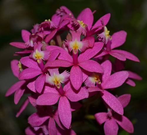 Epidendrum Cosmo Dream Color 'Philip'
