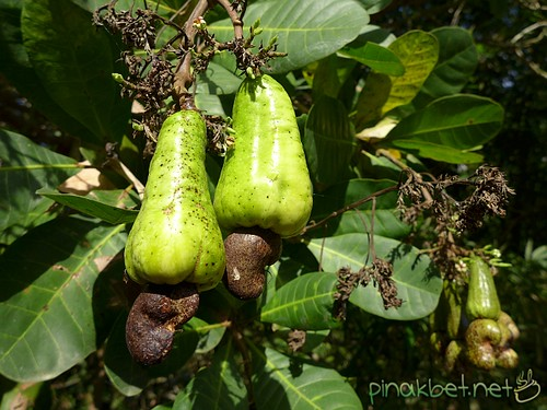 Cashew Fruits on the trees - Kasoy Fruit
