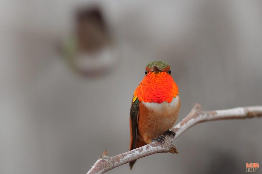 Allen's Hummingbird 021413-3
