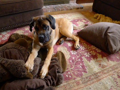 mastiff on the rug