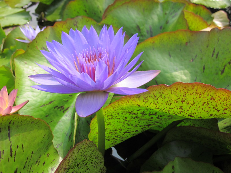 Nymphaea 'Laura Frase'