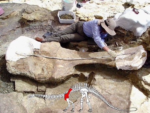 Passport in Time volunteer Frances Mayse measures a nearly eight-foot-long shoulder blade of an Apatosaurus near the Last Chance quarry in May 2008. The graphic inset shows the location of the bone on the Apatosaurus. (U.S. Forest Service photo)