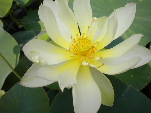 Nelumbo 'Xiao SanSe Lian'  (semplice, bianco con punte sfumate di rosa)