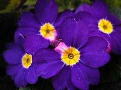 pansy(0.0), annual plant(1.0), flower(1.0), purple(1.0), yellow(1.0), plant(1.0), macro photography(1.0), flora(1.0), herbaceous plant(1.0), petal(1.0),