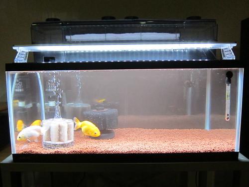 Goldfish Mar. 2, 2013 (1)