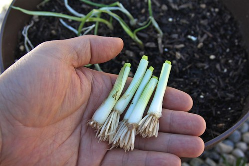 Planting Green Onion Bottoms
