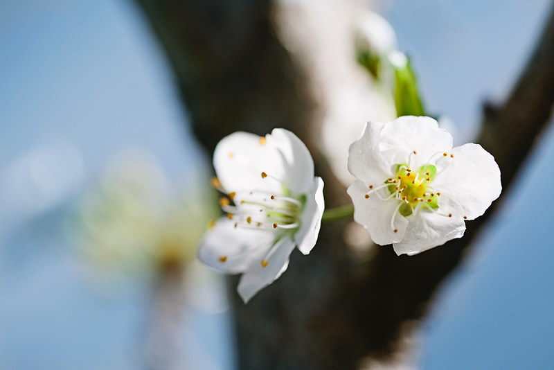 blossoms_6