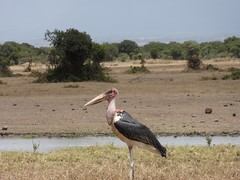 animal, fauna, ciconiiformes, marabou stork, savanna, safari, bird, wildlife,