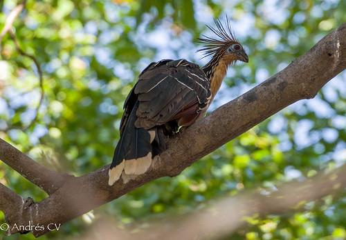 naturaleza nature birds wildlife aves explore hoatzin birdwatching d600 flickrexplore vichada opisthocomidae pavahedionda colombiabirds opisthocomiformes andrescv