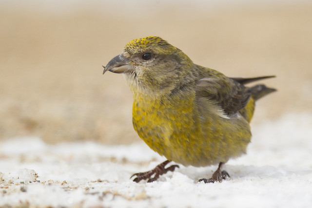 Red Crossbill - Loxia curvirostra - Adult Female
