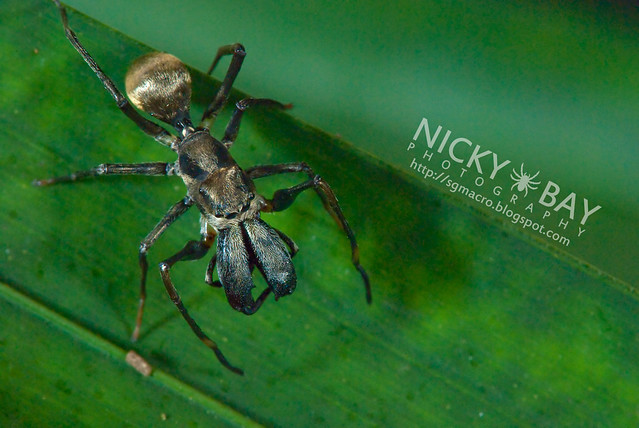Ant-Mimic Jumping Spider (Salticidae) - DSC_5295