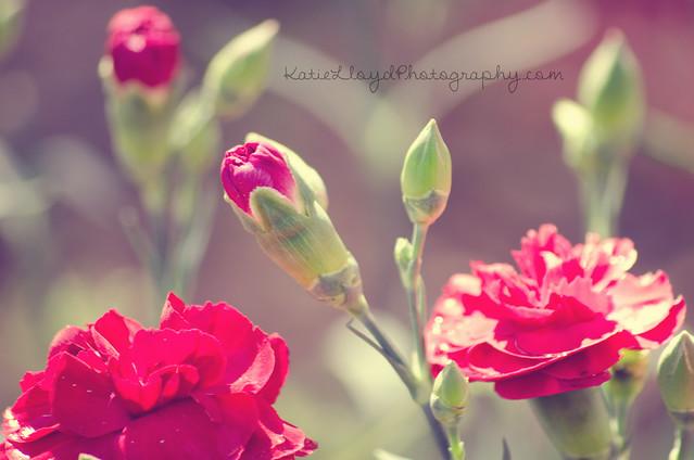 Dianthus---Vintage-wm