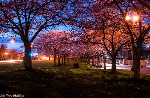 oregon portland cherry blossoms bluehour waterfrontpark tommccall
