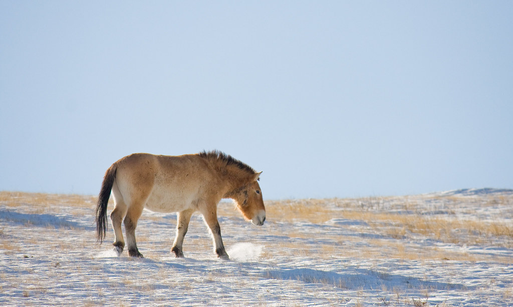 Takhi (wild horse), Hustain Nuruu National Park