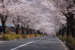 長瀞 北桜通り004