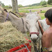 Young Boy with Donkeys - Raglan, New Zealand